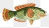 Labridae fish png sea creature vintage drawing hand drawn clipart