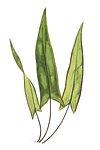 Doryopteris Sagittaefolia fern leaf illustration transparent png