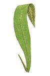 A. Brasiliense fern leaf illustration transparent png