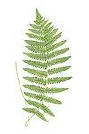 Aspidium Thelypteris fern leaf illustration transparent png