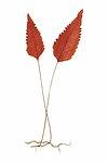 Hymenophyllum Cruentum fern leaf illustration transparent png