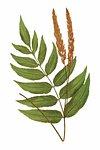 Anemidictyon Phyllitidis fern leaf illustration transparent png
