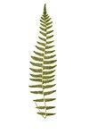 P. Asplenioides fern leaf illustration transparent png