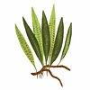 Polypodium Lycopodioides fern leaf illustration transparent png