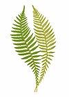 Polypodium Hastaefolium fern leaf illustration transparent png