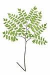 Adiantum Trapeziforme fern leaf illustration transparent png