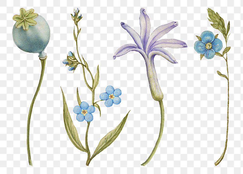 Blue flower png botanical illustration set, remix from The Model Book of Calligraphy Joris Hoefnagel and Georg Bocskay