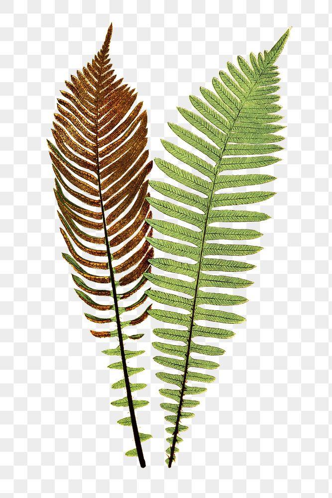 Lomaria Nuda. (Fishbone Waterfern) fern leaf illustration transparent png