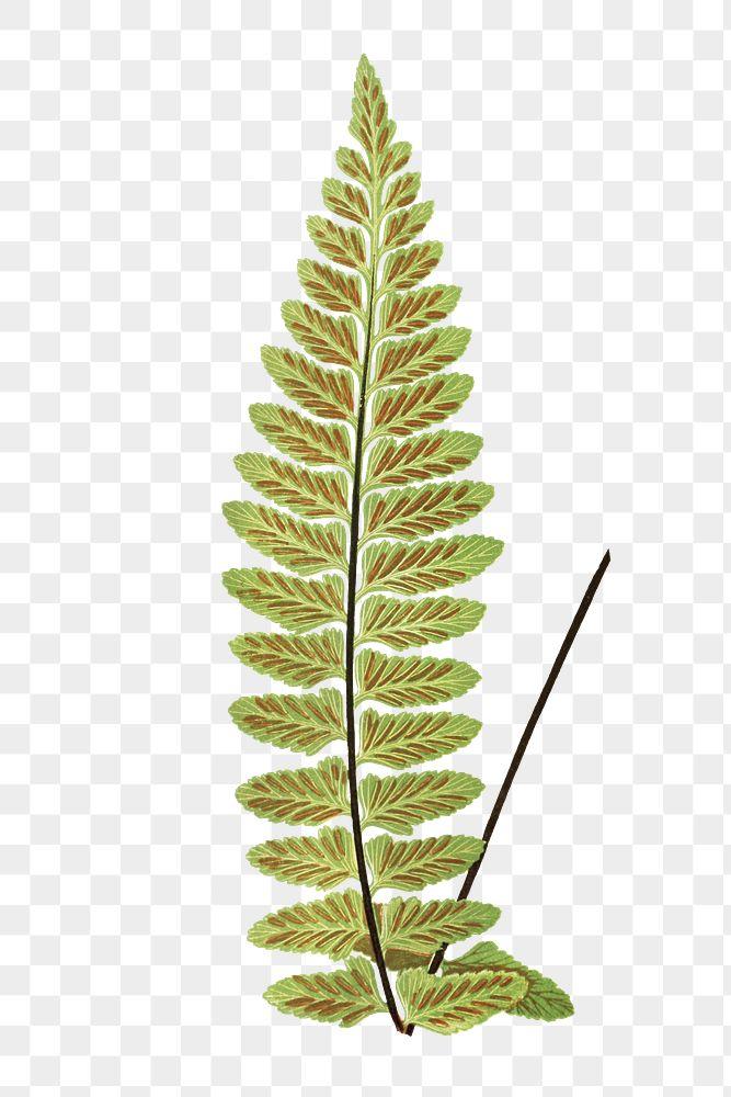 Asplenium Marinum (Sea Spleenwort) fern leaf illustration transparent png