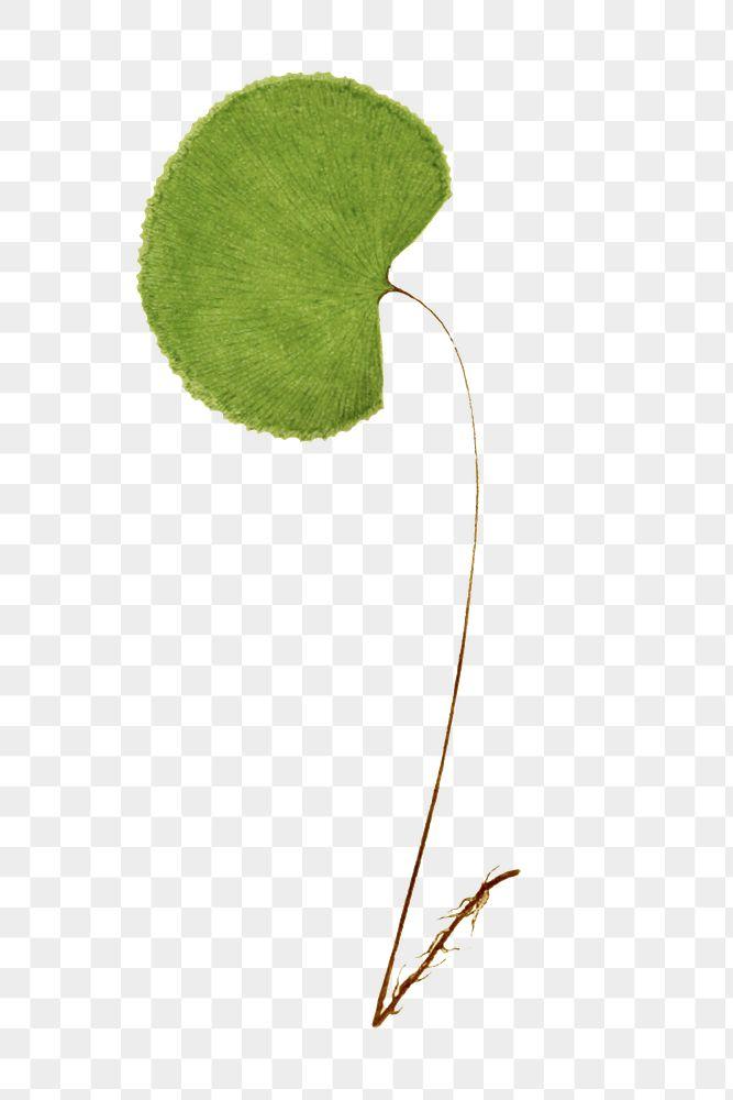 A. Reniforme fern leaf illustration transparent png