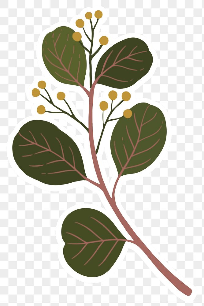 Eucalyptus branch with seeds transparent png