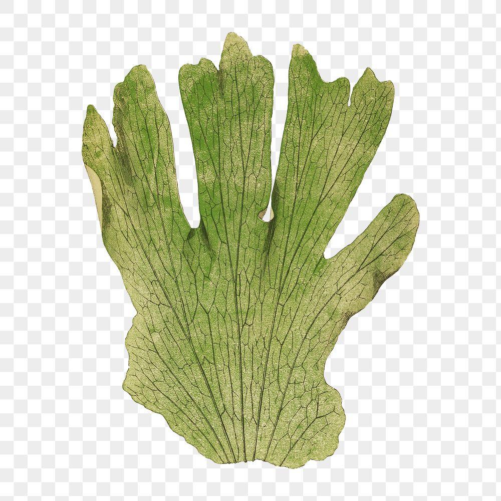 Platycerium Grande (Giant Staghorn Fern) fern leaf illustration transparent png