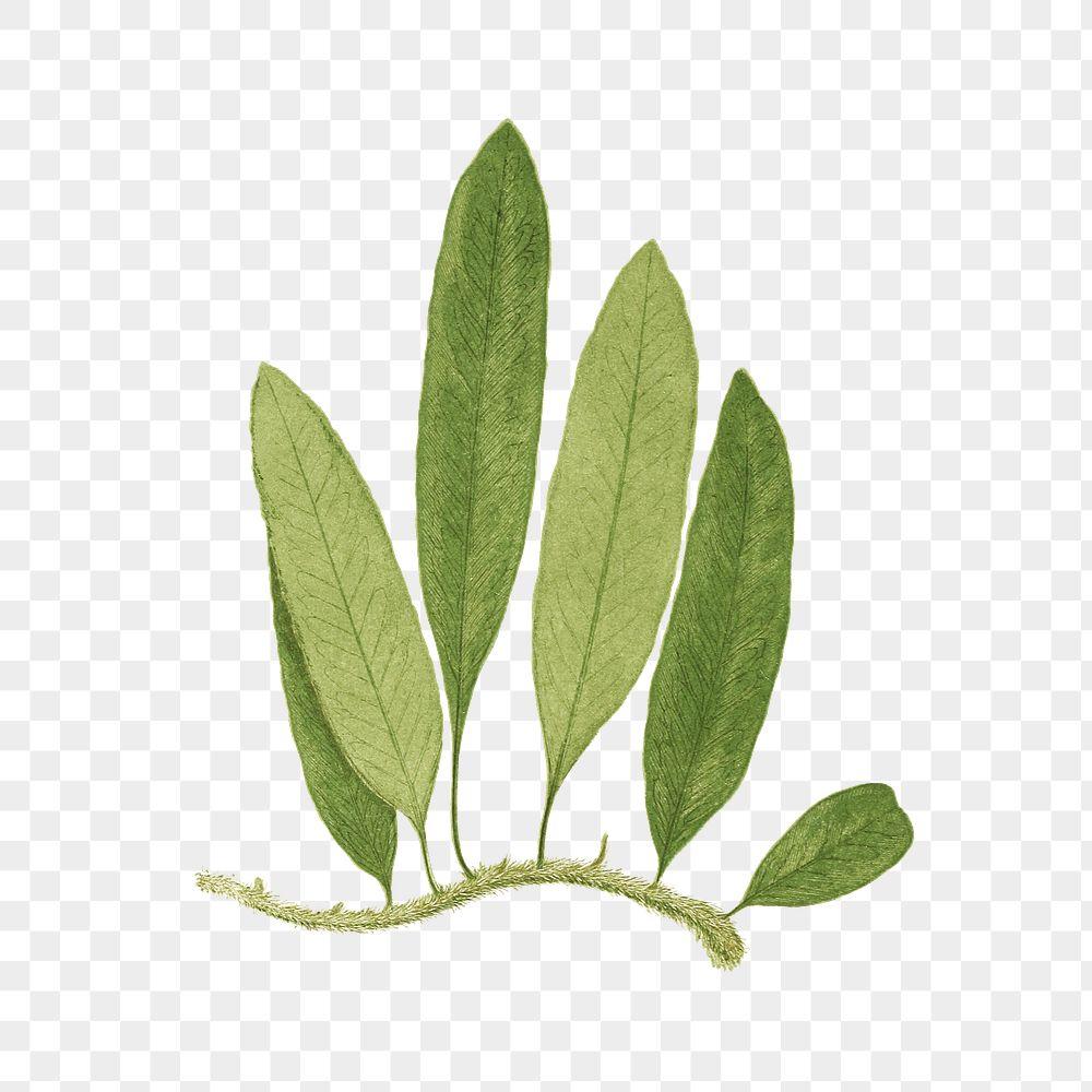 Polypodium Squamulosum fern leaf illustration transparent png